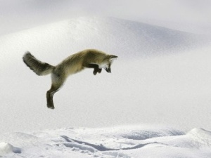 """The Jumping Fox"""