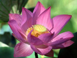 purple-lotus-flower